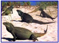 Freindly Rock Iguanas at Little Water Cay