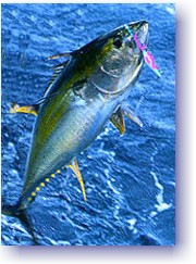 LIGHT TACKLE TROLLING: Yellofin Tuna